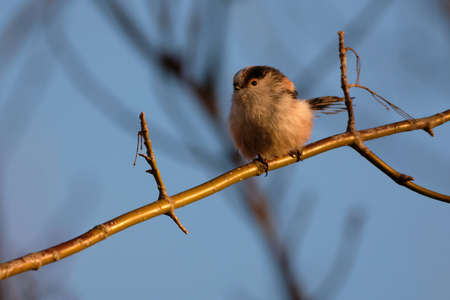 Long-tailed tit on the tree branch