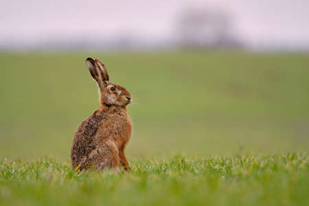 Brown hare - Lepus europaeus sitting on the field