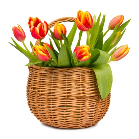 Colorful tulip blooms in a basket isolated on white photo