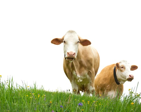 Photo of cows in a meadow isolated on white photo