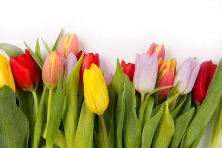 Colorful tulip blooms isolated on white photo