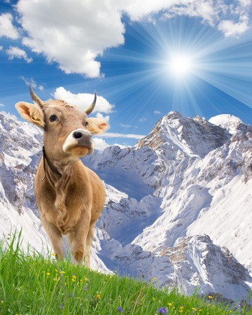 Photo of cows in a meadow with mountains Stock Photo