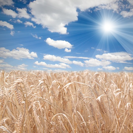 Photo of wheat field with clear sky and sun photo