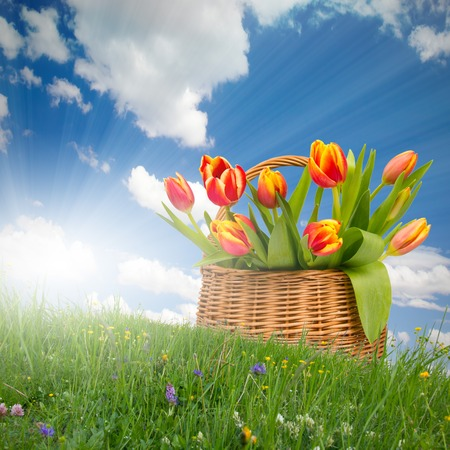 Red tulip blooms in a basket on grass with blue sky photo