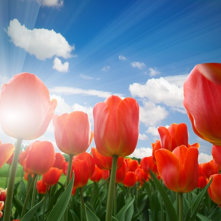 Red tulip blooms with blue sky photo