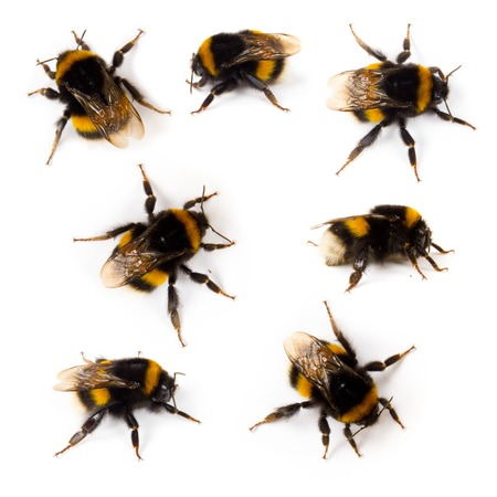 Photo of bumblebee collection isolated on white Stock Photo