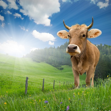 Photo of cow standing on grass with blue sky and sun