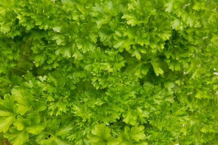 Parsley leaf abstract background photo