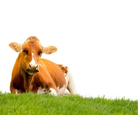 Photo of cow on a grass field isolated