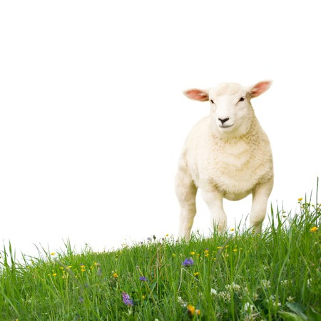 baby sheep: Sheep with grass isolated on white