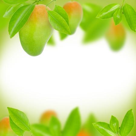 naranja arbol: Resumen de antecedentes de mango y hojas
