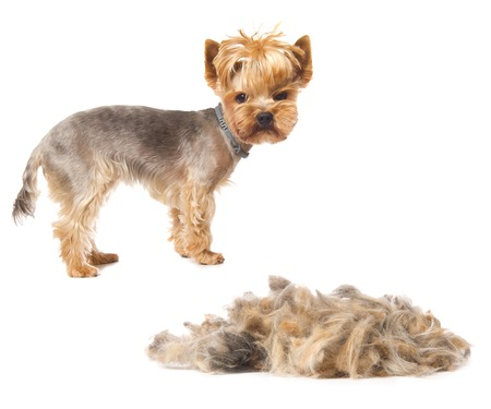 trimmed Yorkshire Terrier with heap of fur isolated on white Stock Photo
