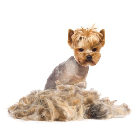 dog grooming: trimmed Yorkshire Terrier with heap of fur isolated on white Stock Photo