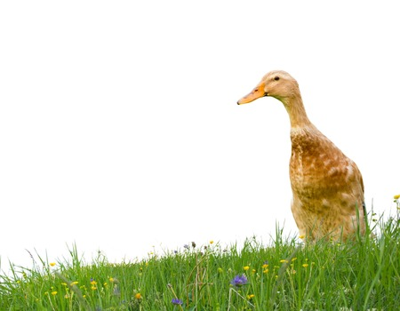 Photo of domestic duck on grass field isolated on white photo