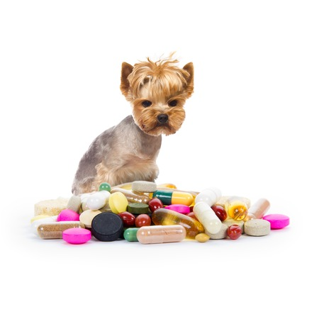 Photo of Yorkshire dog sitting next to the heap of medicaments, concept of illness Stock Photo
