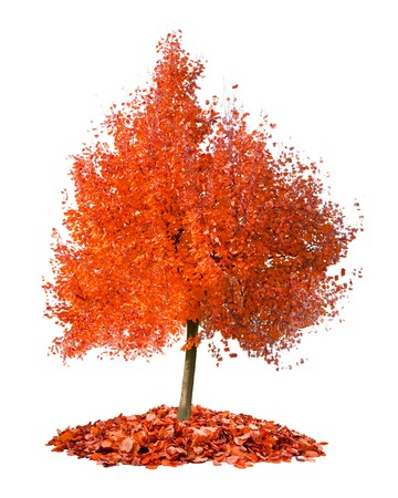 individually: Photo of tree with red leaves isolated on white