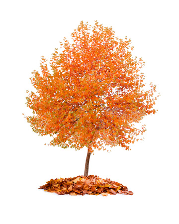 Photo of tree with orange leaves isolated on white Banque d'images