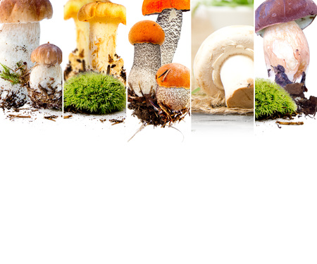 Photo of boletus, field mushroom and chanterelle mix stripes; edible mushroom concept; white space for text Stock Photo