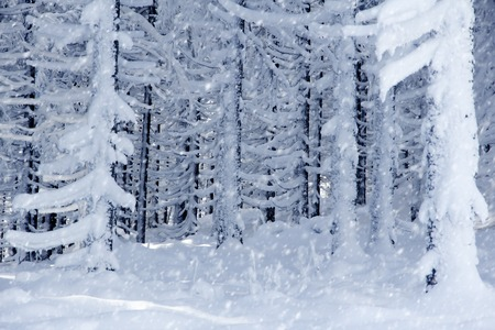 snow covered forest: Photo of snow covered forest; snowy weather; winter concept