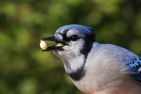 Blue Jay in summer with two peanuts in his beak with green background  photo