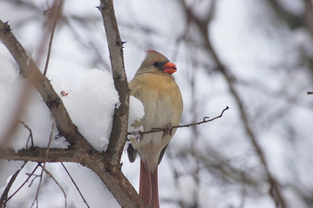 female cardinal: Female Cardinal in winter on branch enjoying lunch