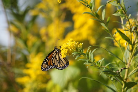 feasting: Monarch butterfly feasting on yellow flower