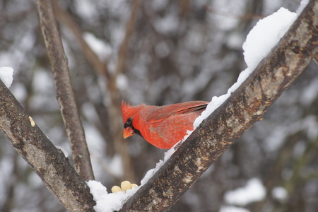 Red Male Northern Cardinal perched on snow covered branch  photo