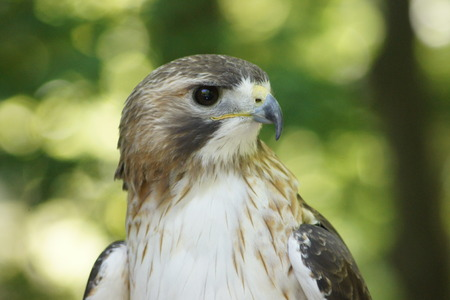 red tailed hawk: Intense eyed Female Red Tailed Hawk