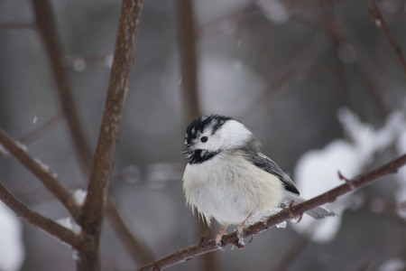capped: Leucistic Black Capped Chickadee Winter Stock Photo