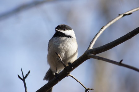 capped: Blacked capped chickadee on branch, blue sky background