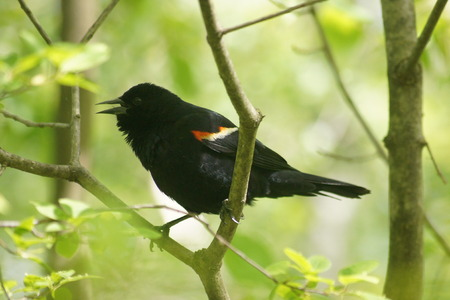 red winged: Male Red Winged Blackbird, beak open on a branch, green background
