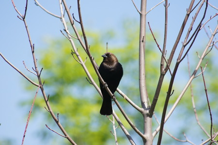 headed: Brown headed cowbird perched on a branch  Stock Photo