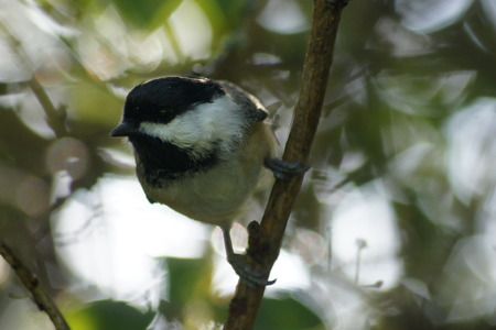 capped: Black capped chickadee with sunlit leaves in background