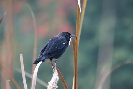 유럽의: European Starling perching in marsh