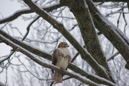 red tailed hawk: Female Red Tailed Hawk on snow covered branch  Stock Photo