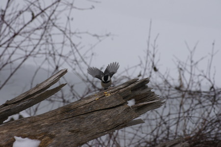capped: Black capped chickadee, wings spread