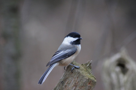 Black capped chickadee perched on a log  Stock fotó