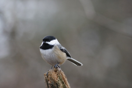 capped: Black capped chickadee perched on log