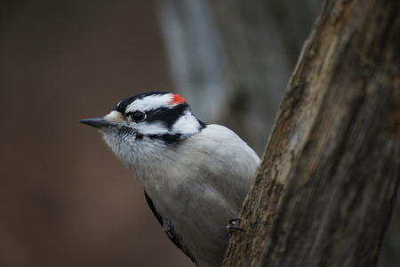 Close up Male downy woodpecker on the side of a tree  photo