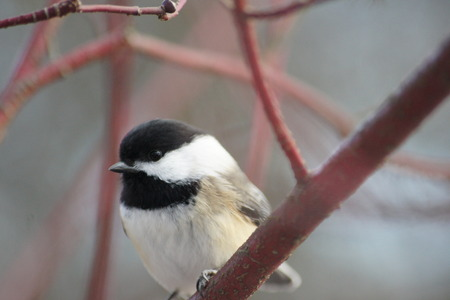 capped: Black Capped Chickadee perched on dogwood branch