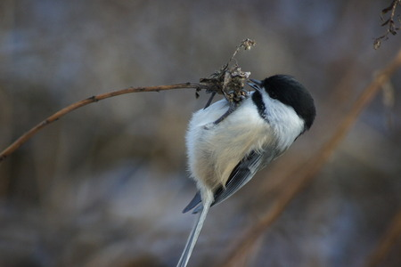 capped: Black capped chickadee feeing on seeds, hanging on branch  Stock Photo