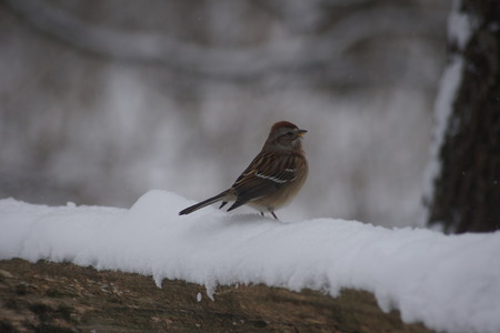 chipping: Chipping sparrow, feet in snow  Stock Photo