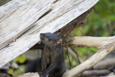 Black squirrel with hands crossed on a log  Stock Photo