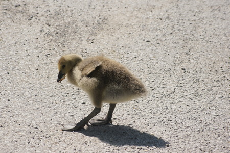 Canada Goose gosling with a beakful of food  photo