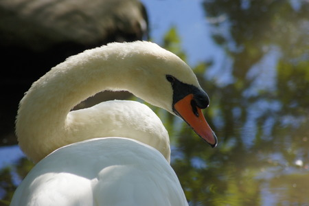 wing span: Mute swan with curved neck  Reflection of trees in the water
