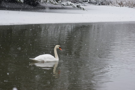 icey: Isolated mute swan during a snowfall