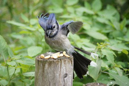 post: Blue jay landing on a fence post  Stock Photo