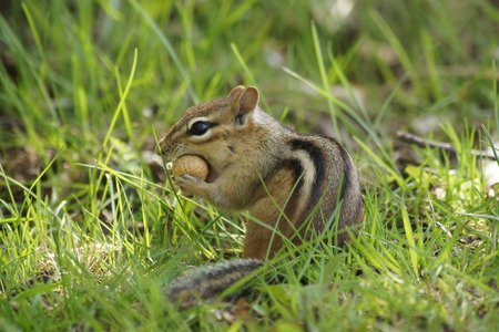 stuffing: Chipmunk stuffing a peanut in his mouth.