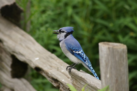 green jay: Blue Jay en la cerca con el insecto en su pico. Foto de archivo
