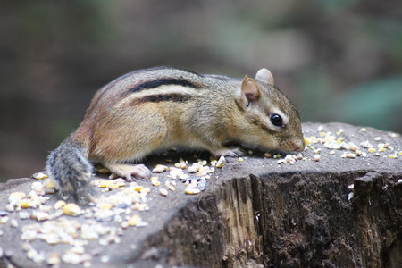 feasting: Sweet chipmunk feasting while sitting on logg. Stock Photo